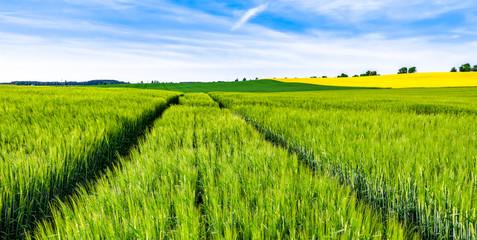 Green field of wheat growing in spring, farm landscape Wall mural