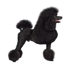 Standard black poodle