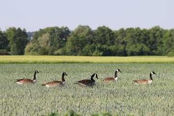 Canada Geese destroy and damage to crops and cause many problems for farmers. Clipped leaves and stalks on plants, as well as goose droppings are all over the crops fields.