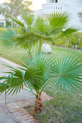 Washingtonia filifera palm tree growing outdoors