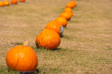 Many ripe orange pumpkin on grass and outdoor-Image.