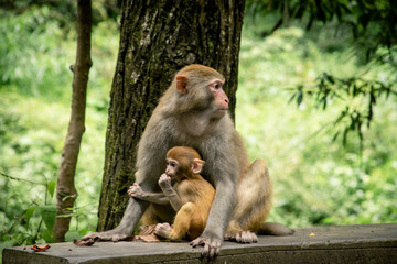 Monkeys at the National Park of Zhangjiajie