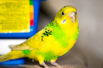 Green wavy parrot sits near the cage