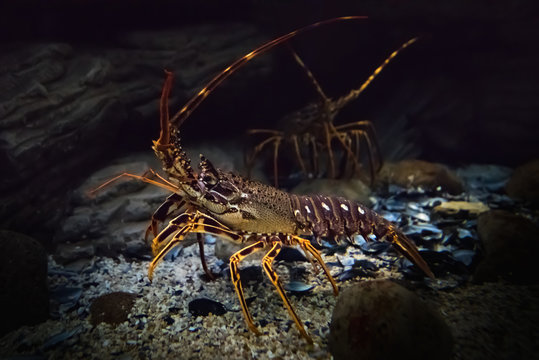 Underwater shot of live crawling spiny lobster