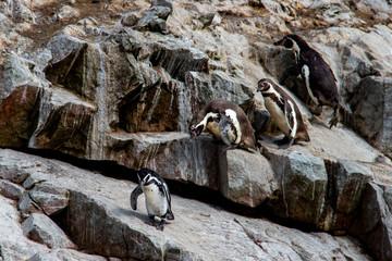 Pinguini sulle isole Ballestas, Perù