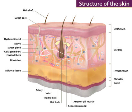 Skin structure, medicine, full description, vector illustration