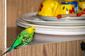 wavy parrot sits in the closet near the plates