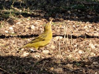 Yellow bird on the ground