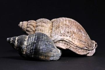 Zwei Gehäuse der Wellhornschnecke (Buccinum undatum)