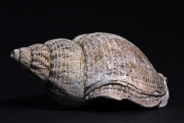 Gehäuse einer Wellhornschnecke (Buccinum undatum)