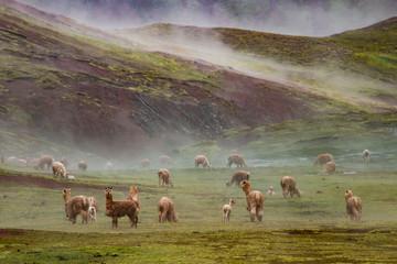 Alpaca nella meravigliosa Valle Rossa, Cusco, Perù