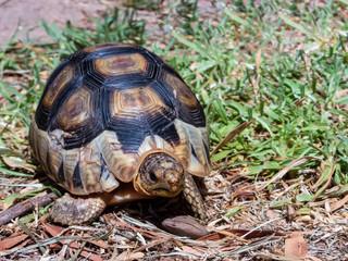 Angulate Tortoise on grass