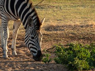 Plains Zebra eating