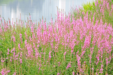 Wild flowers along the river