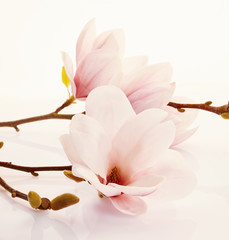 Fragrant fresh pink magnolia flowers