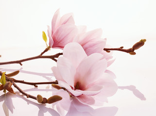 Pink magnolia blossoms on a reflective surface