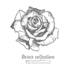 Hand drawn sketch of rose, single bud Detailed vintage botanical illuatration. Floral black silhouette isollated on white background Creative graphic art in engraving style