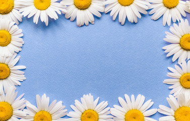 Natural flowers frame. Fresh white chamomile on blue paper background. Copy space, top view.