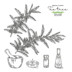 Hand drawn tea tree branches with flowers isolated on white background. Melaleuca essential oil. Vector botanical illustration.