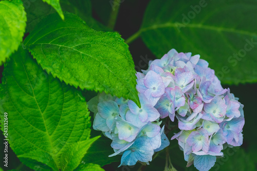Beautiful Blue Hydrangea Or Hortensia Flower Close Up Artistic