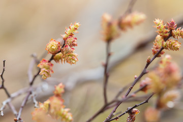 Blooming sweetgale, Myrica gale