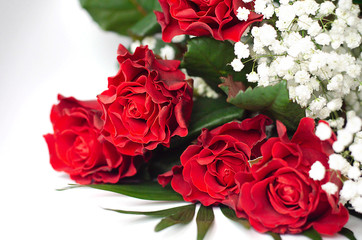 Lively red isolated roses with white gypsum.