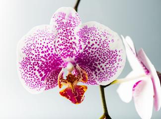 Blooming purple orchids flower. Phalaenopsis