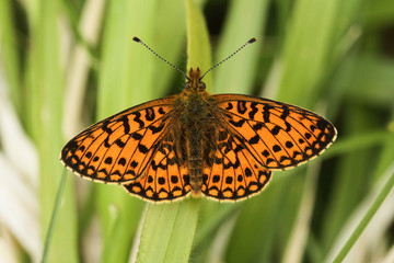 An open winged Small Pearl-bordered Fritillary (Boloria selene ) Butterfly perched on grass.