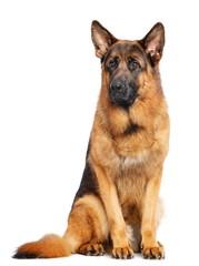 German Shepherd Dog  Isolated  on white Background in studio