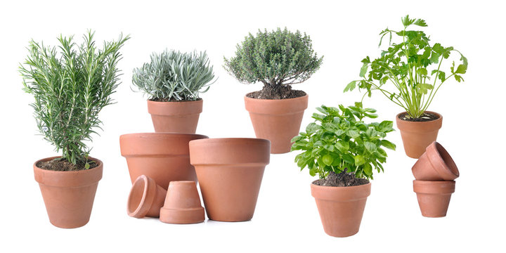 aromatic plant potted with terracota pots on white background
