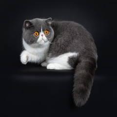Blue with white cute Exotic shorthair cat kitten sitting / standing side ways, one paw in air. Looking over shoulder with big round bright orange eyes beside lens. Isolated on black background.