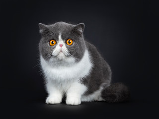 Blue with white cute Exotic shorthair cat kitten sitting facing front, one paw in air. Looking with big round bright orange eyes beside lens. Isolated on black background.