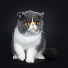 Blue with white cute Exotic shorthair cat kitten sitting facing front, one paw in air. Looking with big round bright orange eyes annoyed at lens. Isolated on black background.