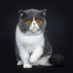 Blue with white cute Exotic shorthair cat kitten sitting facing front, one paw in air. Looking with big round bright orange eyes beside camera. Isolated on black background.