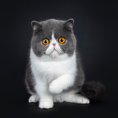 Blue with white cute Exotic shorthair cat kitten sitting facing front, one paw in air. Looking with big round bright orange eyes at lens. Isolated on black background.