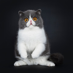 Blue with white cute Exotic shorthair cat kitten standing on hind paws facing front, front paws in air. Looking with big round bright orange eyes straight in camera. Isolated on black background.