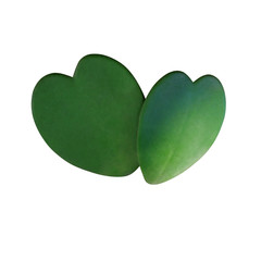 Wall Mural - Two natural heart shaped succulent green leaves of Sweetheart Hoya or Valentine Hoya (Hoya kerrii ) the love symbol tropical houseplant  isolated on white background, clipping path included.