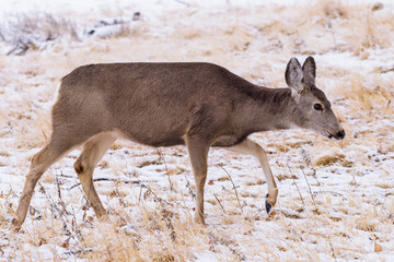 Wild Deer on the High Plains of Colorado During a Snow Storm