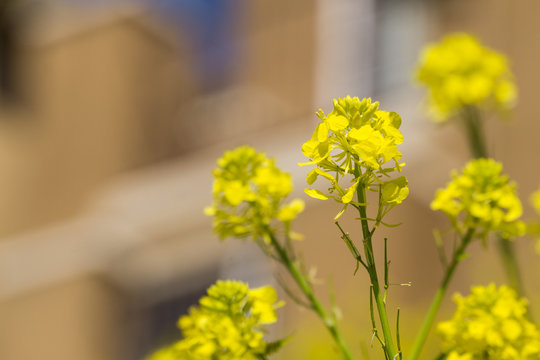 Close up of Wild Mustard (Sinapis arvensis) flower, native to Mediterranean basin and highly invasive in California