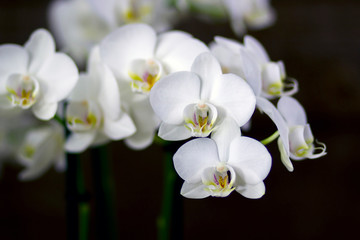 Beautiful white orchid  - phalaenopsis