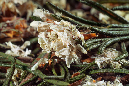 Dried medicinal herbs, branches with leaves and flowers. Ledum Palustre, Rhododendron tomentosum (wild rosemary, marsh Labrador tea). Close-up.
