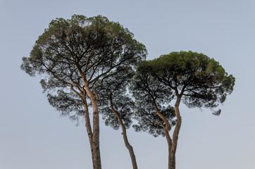 Cedar pine against the sky