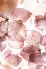 Photo sur Plexiglas Fleuriste pink hydrangea flowers on the white background. floristic concept