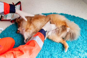 A emergency veterinarian treats with medical equipment a little Shetland Sheepdog