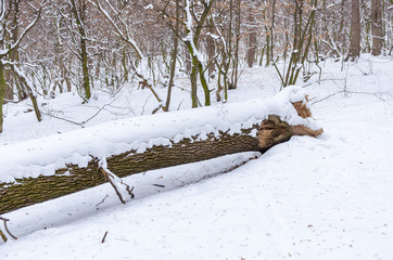 Tree down in a winter snowy forest. Winter nature landscape outdoor background.