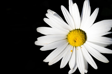White daisy flower on black background