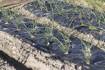 分葱の畑、冬