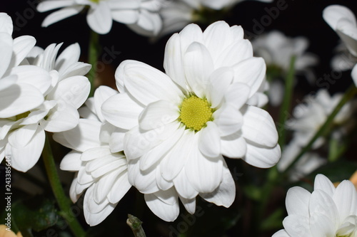 Fleur Marguerite Blanche Stock Photo And Royalty Free Images On