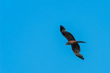 A Yellow Billed Kite (Milvus aegyptius) hunting.