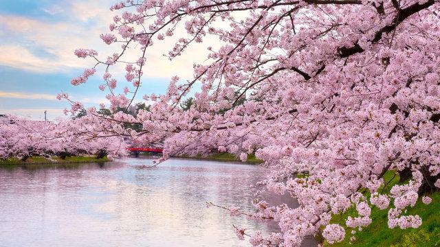 Full bloom Sakura - Cherry Blossom  at Hirosaki park, in Japan